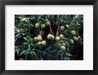 Framed Mangoes, Fiji
