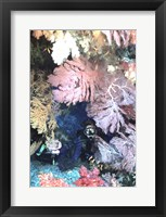 Framed Diver Peers Out From Crevice, Flanked by Brilliant Sea Fans and Soft Corals, Fiji, Oceania