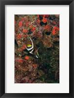 Framed Bannerfish, Viti Levu, Fiji