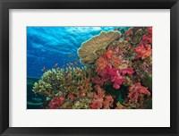 Framed Fairy Basslet fish, Fiji