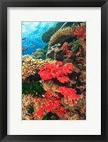 Framed Fairy Basslet fish and Red Coral, Viti Levu, Fiji