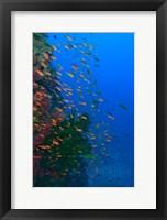 Framed Shoal of Fairy Basslet fish, Viti Levu, Fiji