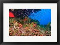 Framed Coral Cod and Anthias fish, Viti Levu, Fiji