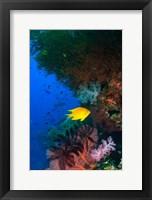 Framed Yellow Damsel, Gorgonian sea fan, Fish, Fiji