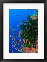 Framed Coral and Fairy Basslet fish, Viti Levu, Fiji