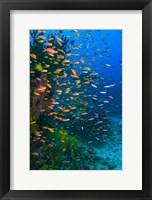 Framed Scuba Diver, Fairy Basslet fish Viti Levu Fiji