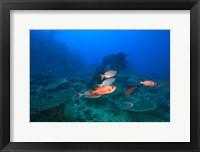 Framed Bigeye Fish near Beqa Island, Viti Levu, Fiji