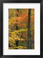Framed Oak-Hickory Forest in Litchfield Hills, Connecticut