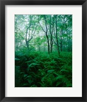 Framed Forest Ferns in Misty Morning, Church Farm, Connecticut