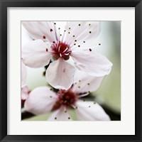 Framed Cherry Blossom 3