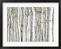Framed Birch Wood
