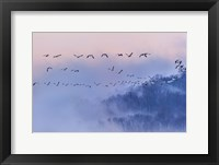 Framed Snow Geese
