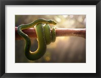 Framed Tree Snake