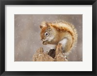 Framed Squirrel in a Snow Storm