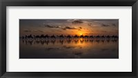 Framed Sunset Camel Safari