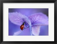 Framed Ladybird On Purple Hydrangea
