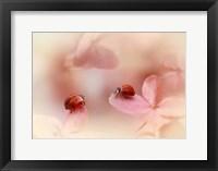 Framed Ladybirds On Pink Hydrangea