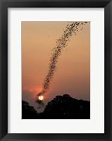 Framed Bat Swarm At Sunset