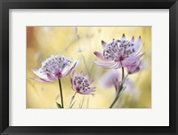 Framed Astrantia Major