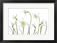 Framed Spring Snowdrops