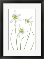 Framed Galanthus Flore Pleno