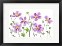 Framed Anemone Japonica