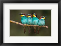 Framed Bee-Eater Resting