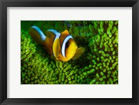 Framed Yellow Clownfish On Green Anemon