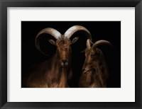 Framed Mr. & Mrs. Goat