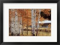 Framed Birch Beauty