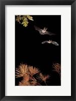 Framed Bats And Halloween