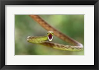 Framed Green Parrot Snake