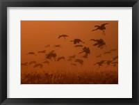 Framed Army Cranes At Golden Sunrise