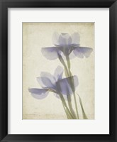 Framed Parchment Flowers VIII