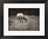 Framed To Graze