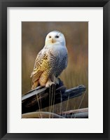 Framed Snowy Owl On Dead Log
