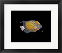Framed Blue Ring Angelfish