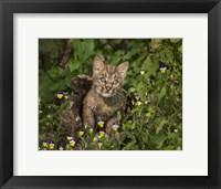 Framed Bobcat Kitten In Wildflowers