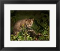 Framed Bobcat Kitten Poses On Log