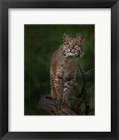 Framed Bobcat Poses On Tree Branch 1