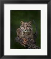 Framed Bobcat Poses On Tree Branch 2
