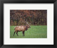 Framed Bull Elk (GSMNP)