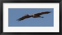 Framed Sandhill Crane In Flight