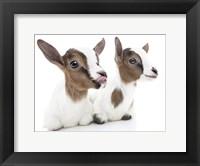 Framed Goats 1