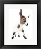 Framed Goats 4