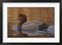 Framed Redhead Duck