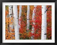 Framed Aspens and Maples