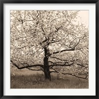 Framed Apple Tree in Bloom