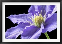 Framed Purple Clematis