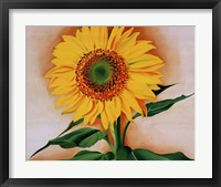 Framed Sunflower from Maggie, 1937